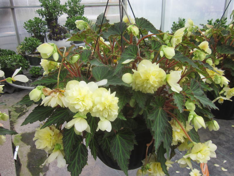Begonia I'Conia Tweetie Pie