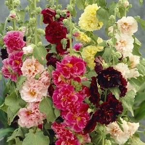 Alcea rosea 'Chater's Mix'