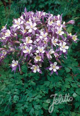 Aquilegia x 'Heavenly Blue'