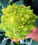 Cauliflower Veronica