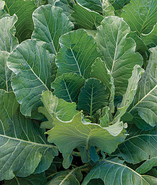 Collards Tiger