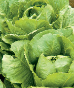 Lettuce Ideal Cos (Romaine)