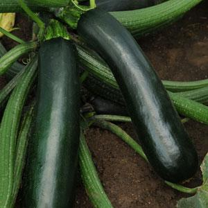 Zucchini Easy Pick Green