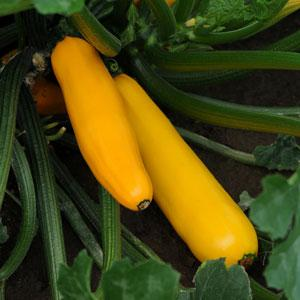 Zucchini Easy Pick Gold