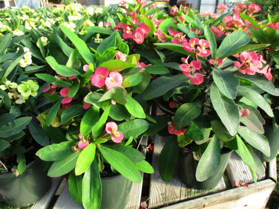Euphorbia milii or Crown of Thorns