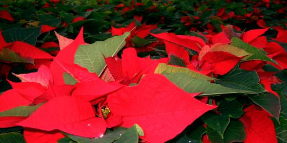 Reblooming Poinsettias
